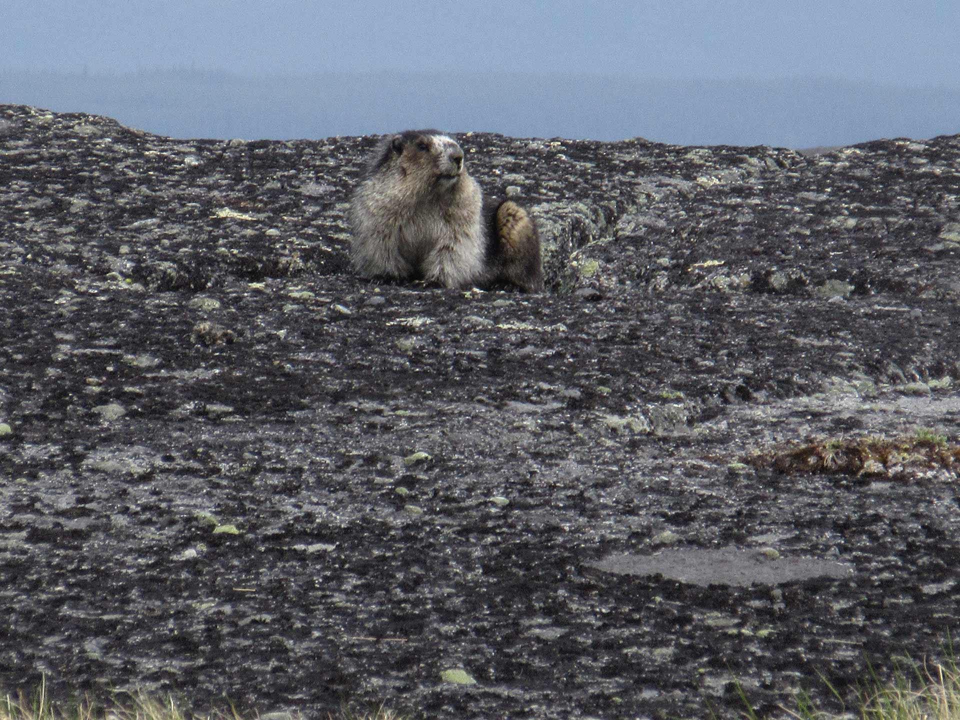 Mount Spieker Marmot